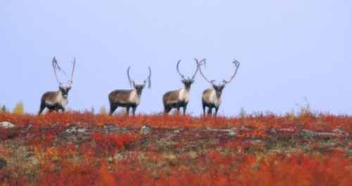 Caribou Migration, Churchill