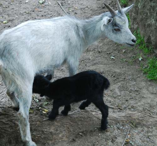 1 Day-old Goat