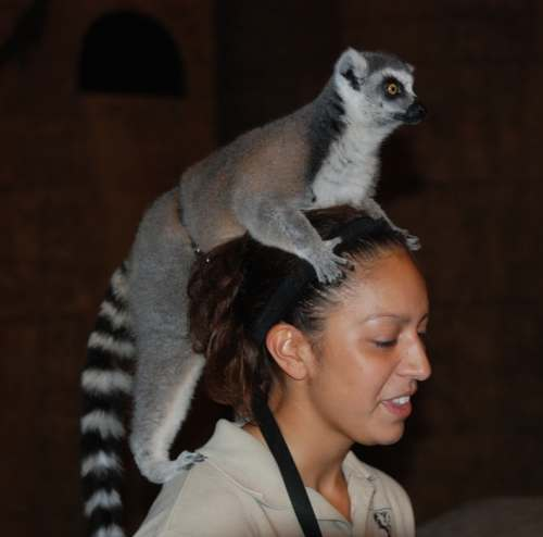 Ring Tailed Lemur Pet ...