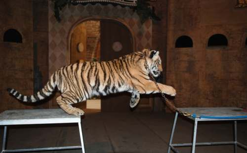 Tiger, Bowmanville Zoo