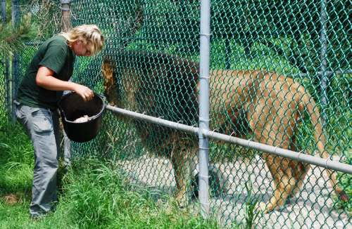 Vanessa feeding lion at JCW