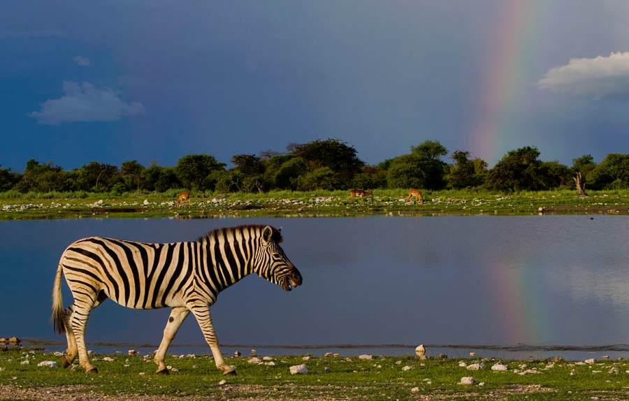 Zebra, Etosha National Park, photo by Wikimedia Commons