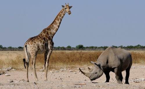 Black rhinoceros with a Giraffe. photo by Wikimedia Commons