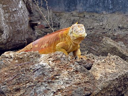 Yellow Land Iguana