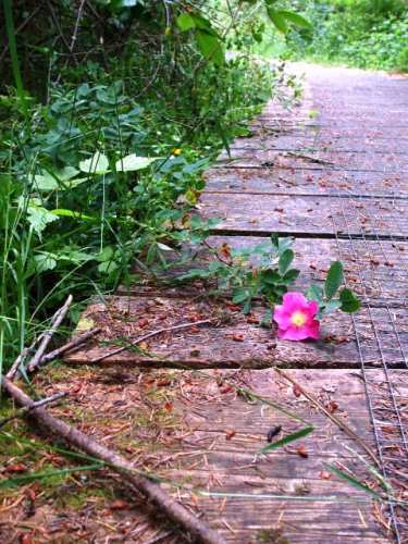 Wild Rose On A Portland Island Boardwalk