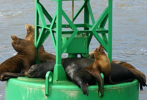 Harbor seals San Diego Bay