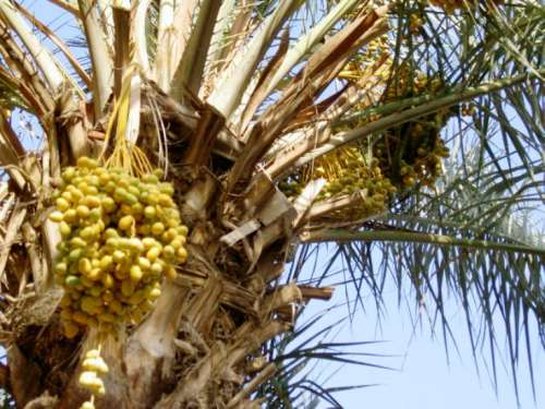 Syria-Eurphartes-Deir ez-Zor, Date Palm Along the River