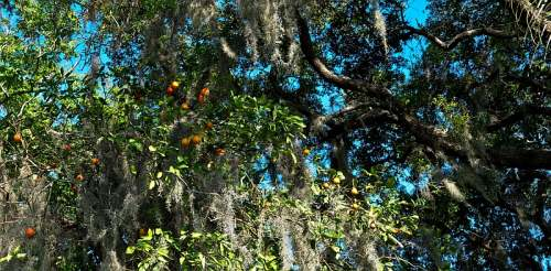 Orlando orange tree, photo by Mike Keenan