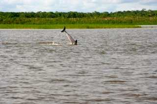 An Amazon pink dolphin at play