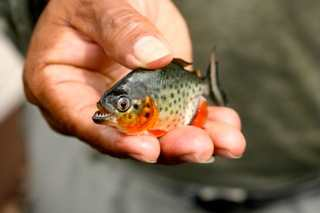 One of the baby Piranhas we caught. (And released.)