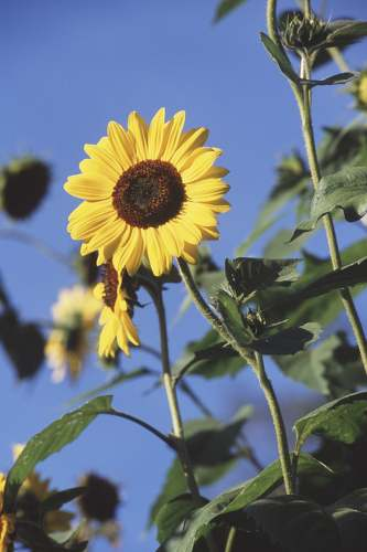 South Londonderry, Vermont, sunflower, photo by Vermont CVB
