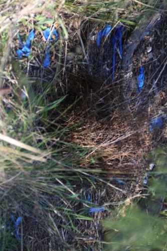 Satin Bowerbird Staging Area With Blue Collection