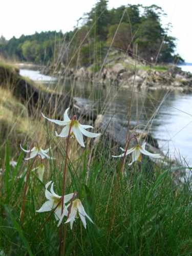 Fawn Lilies By Boat Passage