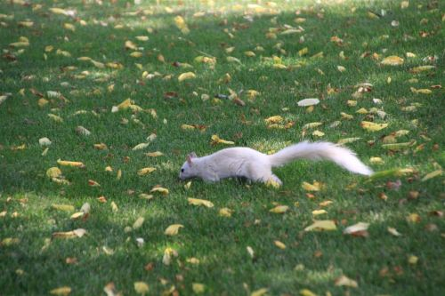the white squirrel