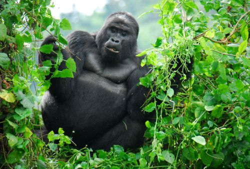 Great Ape, photo by Wikimedia Commons